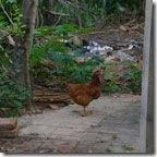 galinha140[3]