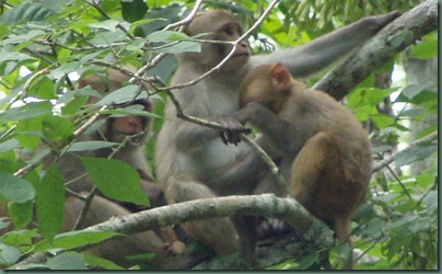 Family of Monkeys on the Silver River