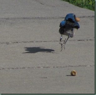 Florida Scrub Jay running away