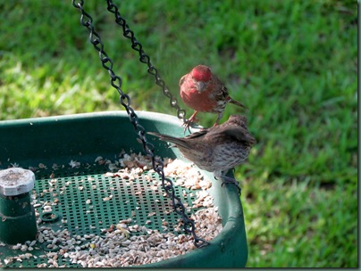 Purple finch and baby