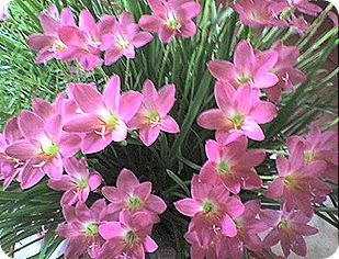 flores26