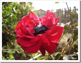 escaravelho_rosa