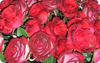rosas_vermelhas_nara_franca