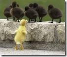 ducks discrimination