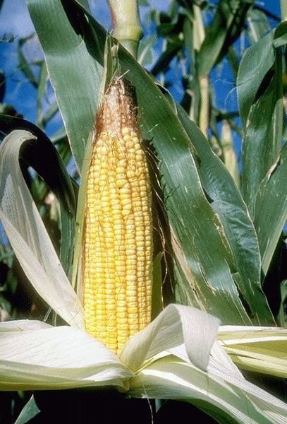 farming-corn-rural-lifestyle