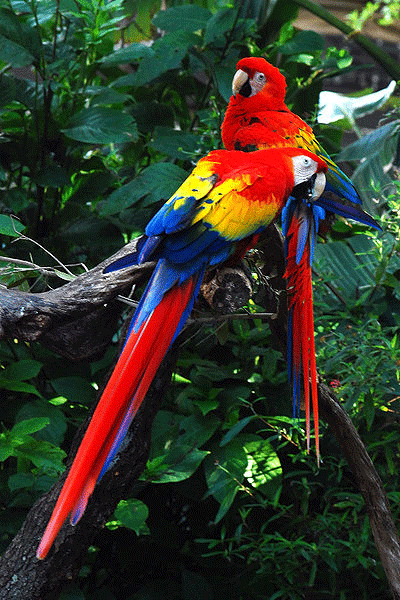 Scarlet-Macaws.png