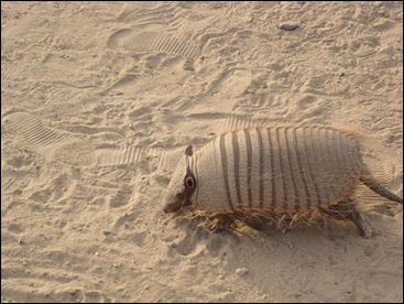 Hairy Armadillo in the Sand