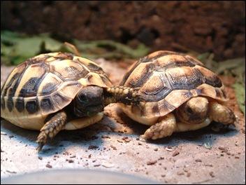 griekse landschildpadden