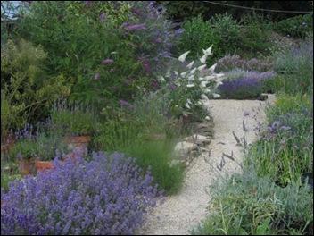 Buddlejas & Lavender