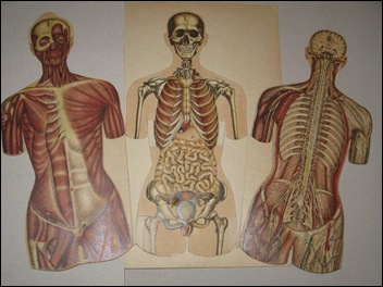 Anatomische flapprenten