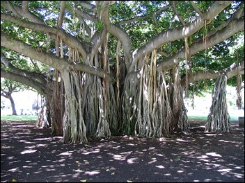 Banyan Tree Aerial Root
