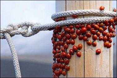 ladybug-swarm