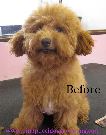 Toy poodle haircuts pictures