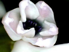 Hyacinth close-up1