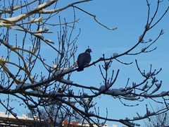 Pigeon in an Ash tree - 06.01.2010