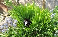 The cat in Montbretia