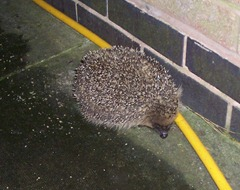 Hedgehog - the first hedgehog of the year