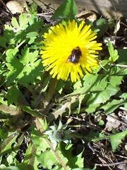 Dandilion and Bumblebee