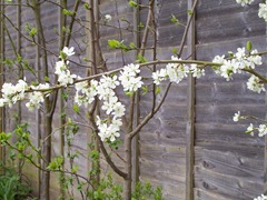 Victoria Plum blossom in April