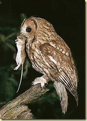 tawny-owl-