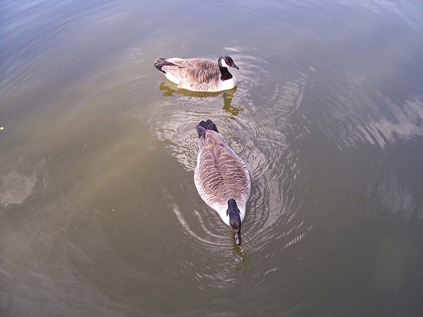Canada geese - gander and goose
