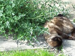 Cat in catmint