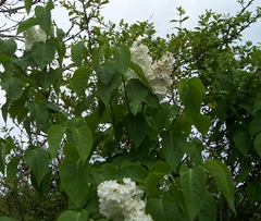White lilac - ravaged by gales