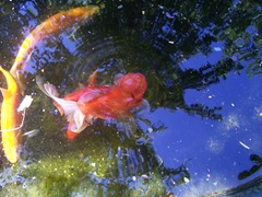Golden Orfe and Goldfish