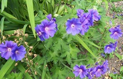 Blue geranium - crane's-bill