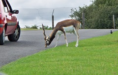 Blackbuck male at West Midland Safari Park - England