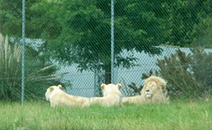 White lions - male and two females