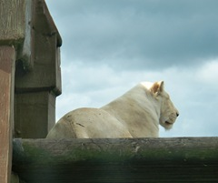 White lion - female on wooden stand
