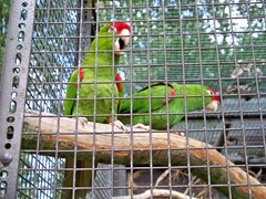 Green and red - very loud macaws