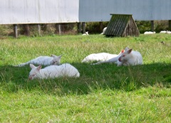 Small group of albino wallaby