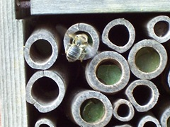 Solitary Leaf-cutter bee repairing exposed chambers to protect the grubs.