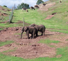 Elephants in the mud