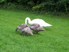 Swans - the cob with two of his cygnets