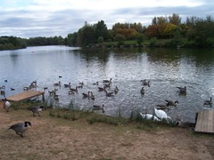 Arrow Valley - Swans, Canada Geese, Mallard ... Late September - evening