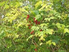 White Bryony - berries