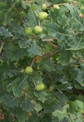 Oak tree with acorns