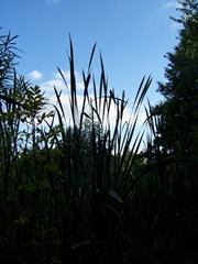 Great Reedmace otherwise known as Bulrush at twilight or dusk - this particular specimen was approximately 8 feet or more in height