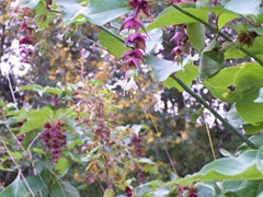 Himalayan honeysuckle ... Purple shrimp flower