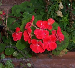 Geranium - 2.12.09 after a frosty night