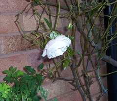 White Iceberg Rose - 2.12.09 after a frosty night
