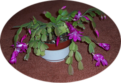 Christmas cactus flowering at Christmas