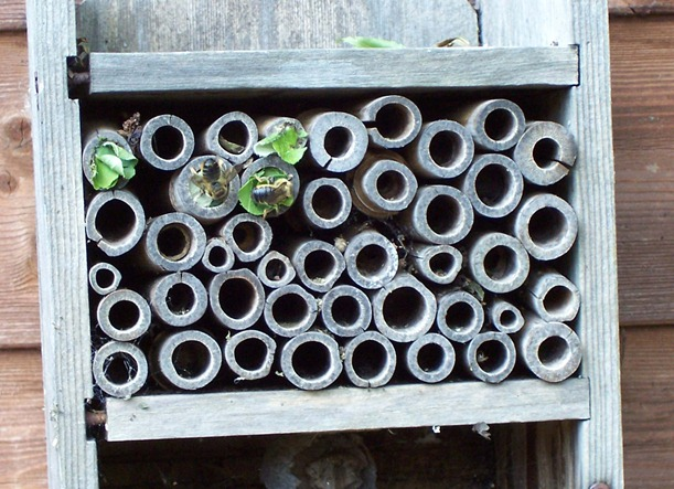 Leaf cutter bees - June 2010