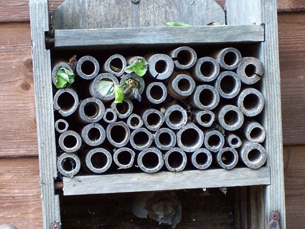 Leaf cutter bee - sealing chamber - June 2010