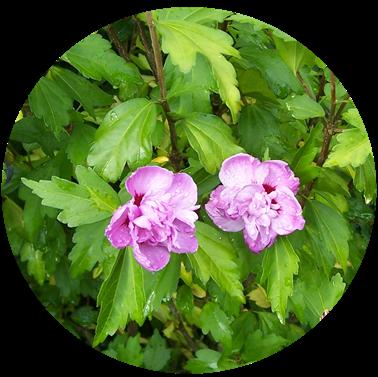 Tree hollyhock - mallow - hibiscus