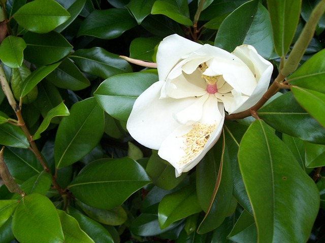 Magnolia grandiflora - also referred to as the Southern Magnolia - this one found in the Cotswolds at Chipping Campden