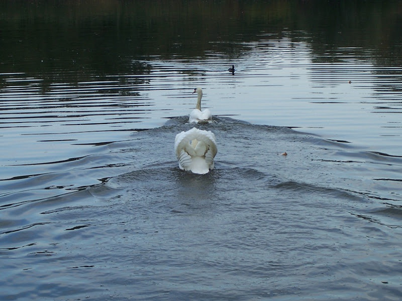 The Emperor. the King, the Lord - Alpha Cob (head male swan)